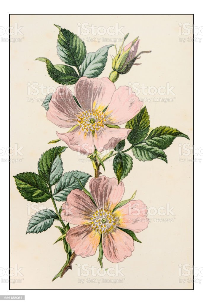 Antique color plant flower illustration: Rosa canina (dog rose) vector art illustration