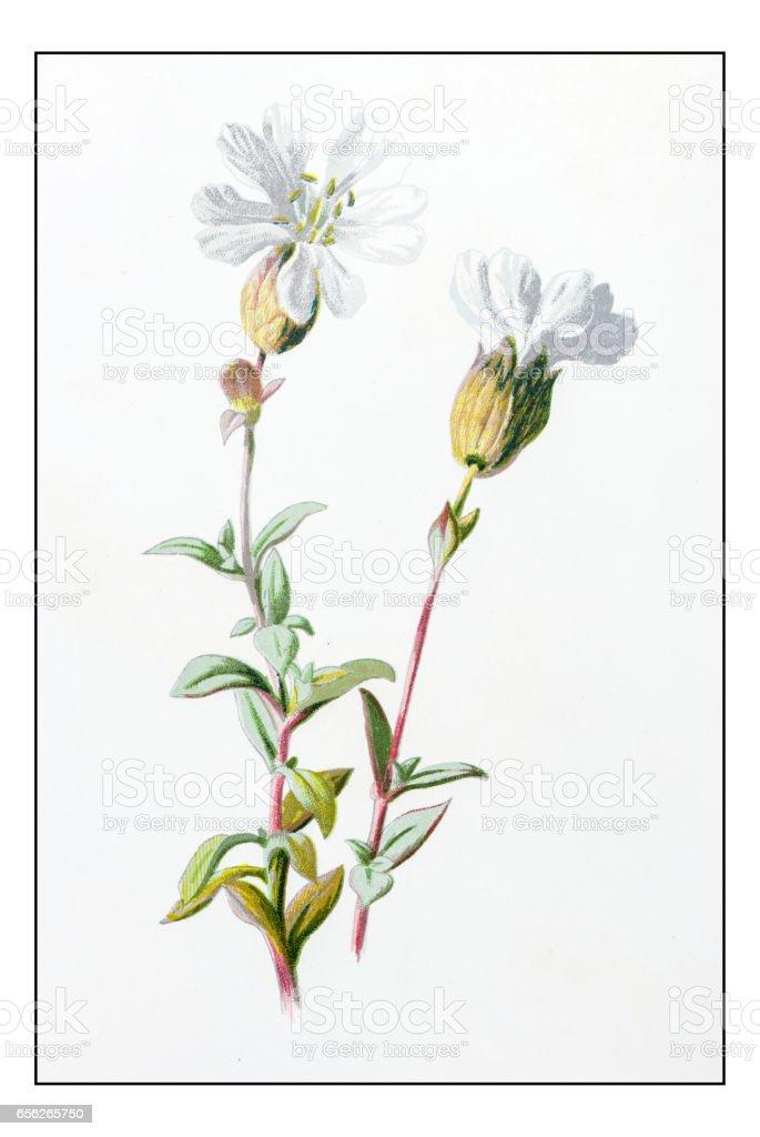 Antike Farbe Pflanze Blume Abbildung Meer Campion Stock Vektor Art ...