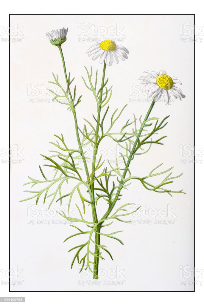 Antique color plant flower illustration: Tripleurospermum inodorum (scentless false mayweed) vector art illustration