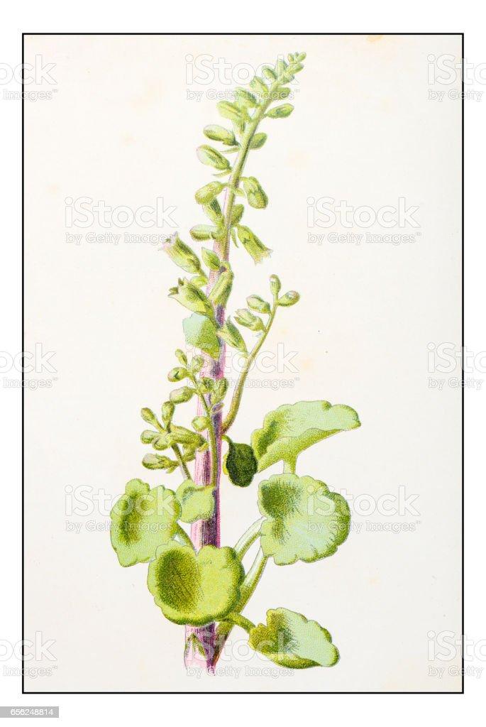 Antique color plant flower illustration: Umbilicus rupestris (Wall Pennywort) vector art illustration