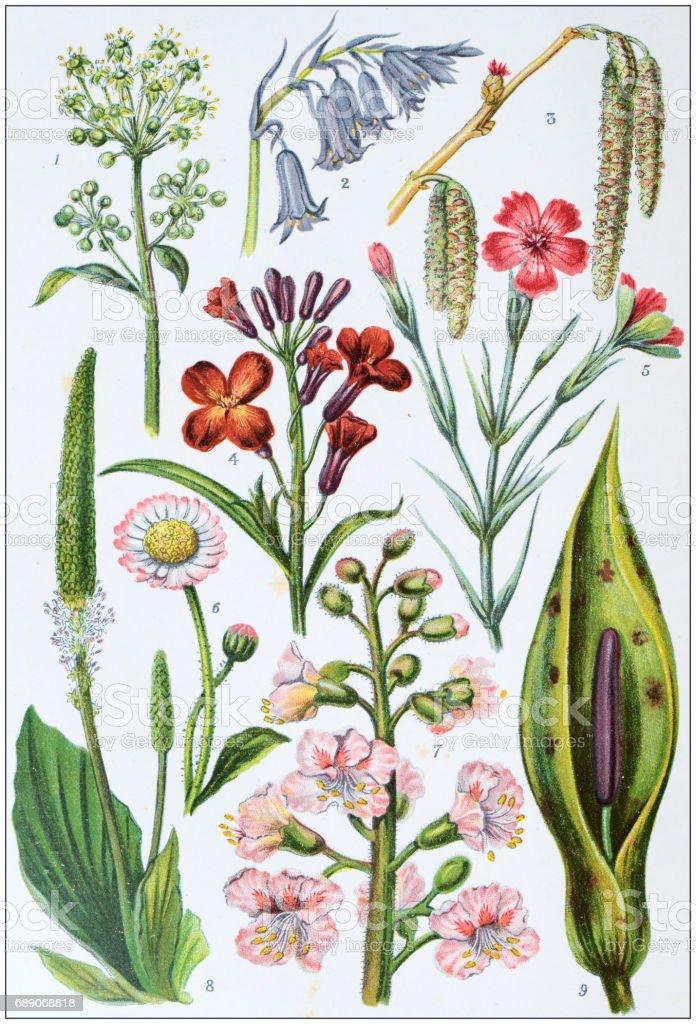 Antique colored illustrations: Flowers vector art illustration