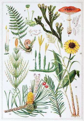 Antique colored illustrations: Plants