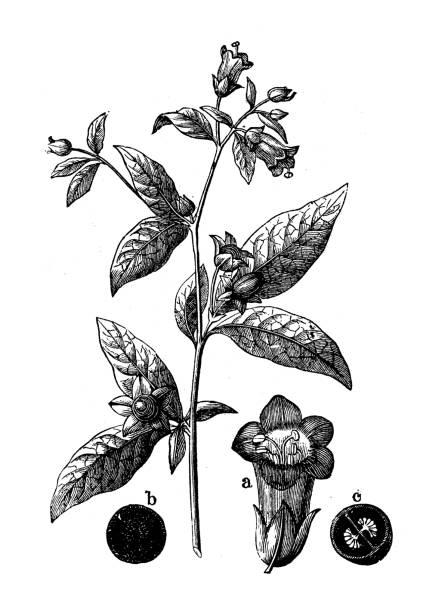 bildbanksillustrationer, clip art samt tecknat material och ikoner med antik gravyr illustration: atropa belladonna (deadly nightshade) - amaryllis