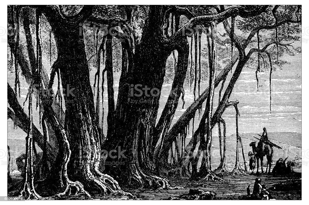 Antique engraving illustration: Banyan tree vector art illustration