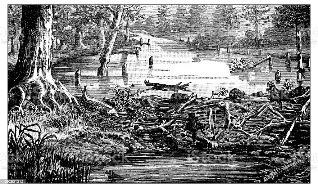 Antique engraving illustration: Beaver's dam vector art illustration