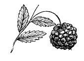 Antique engraving illustration: Blackberry