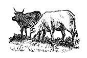 Antique engraving illustration: Cattle
