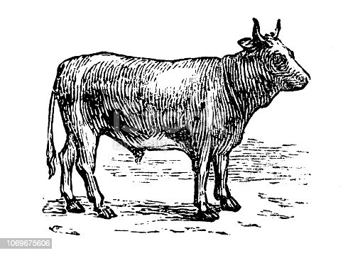 Antique engraving illustration: Cattle
