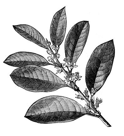 Antique engraving illustration: Coca