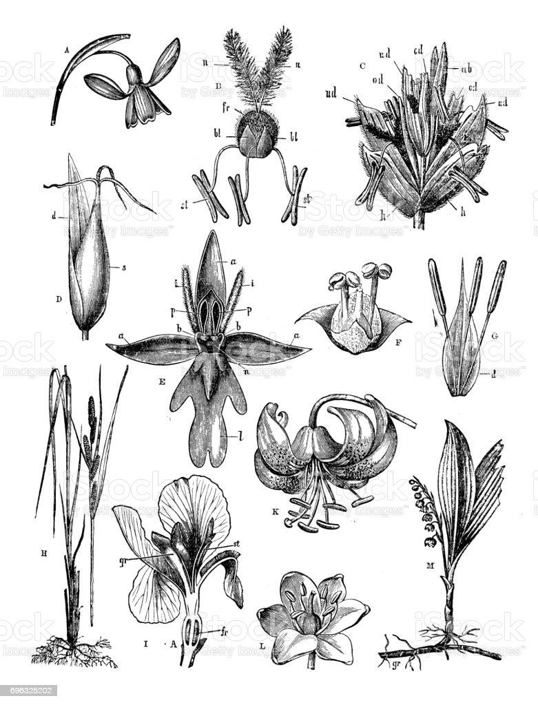 Antique engraving illustration: Flowers vector art illustration