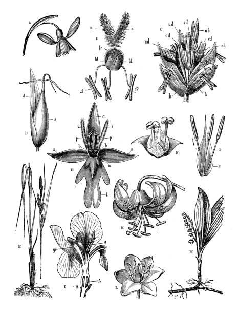 Antique engraving illustration: Flowers Antique engraving illustration: Flowers iris plant stock illustrations