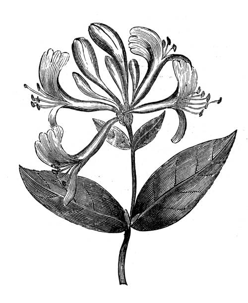 Antique engraving illustration: Honeysuckle (Lonicera Periclymenum) Antique engraving illustration: Honeysuckle (Lonicera Periclymenum) honeysuckle stock illustrations