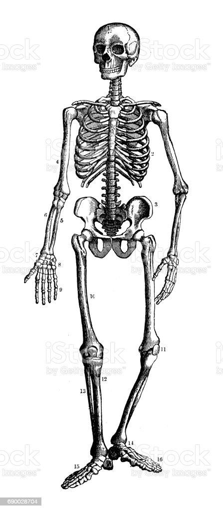 Antique Human Skeleton Diagram Bones Car Wiring Diagrams Explained