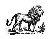 Antique engraving illustration: Lion