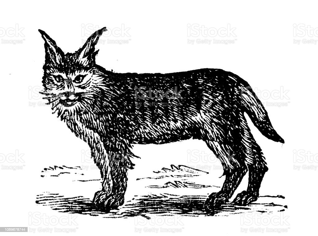 Antique Engraving Illustration Lynx Stock Illustration - Download Image Now