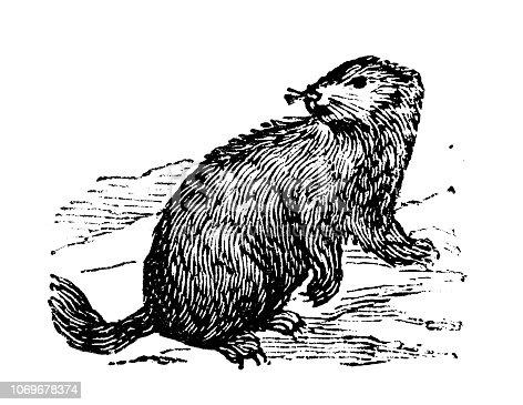 Antique engraving illustration: Marmot