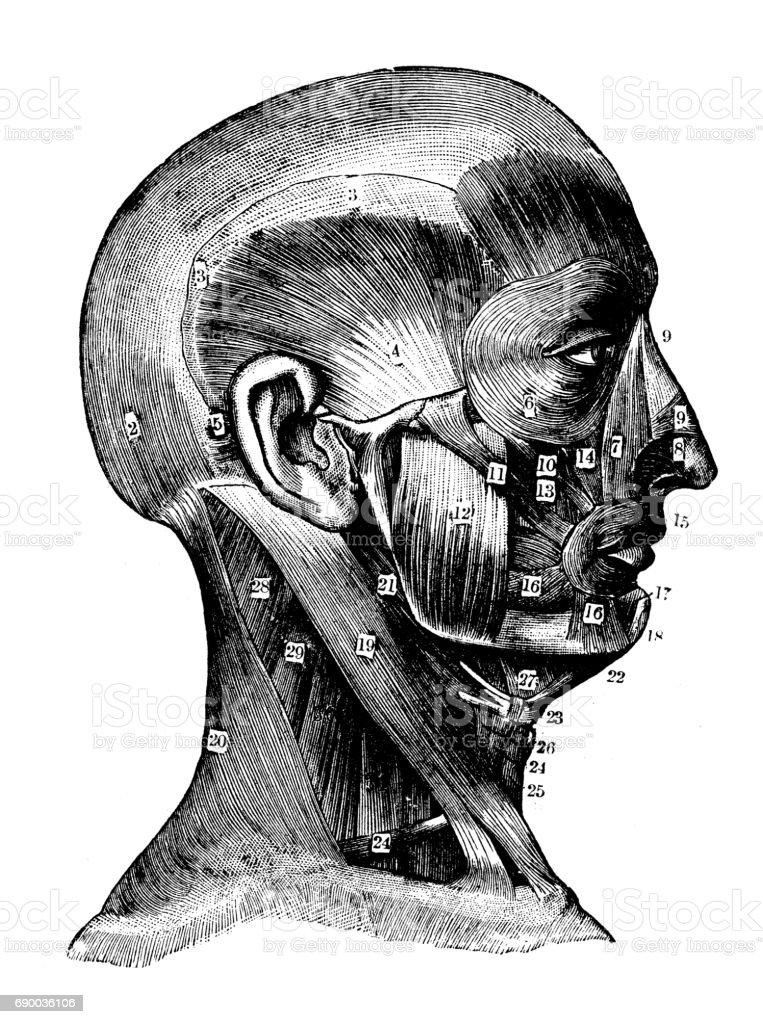 Antiken Gravur Abbildung Muskeln Von Hals Und Gesicht Stock Vektor ...