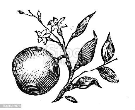Antique engraving illustration: Orange