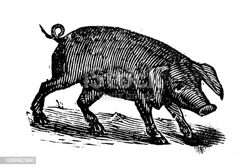 Antique engraving illustration: Pig
