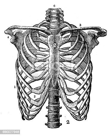 istock Antique engraving illustration: Rib cage 690027948