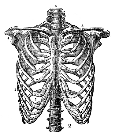 Antique engraving illustration: Rib cage