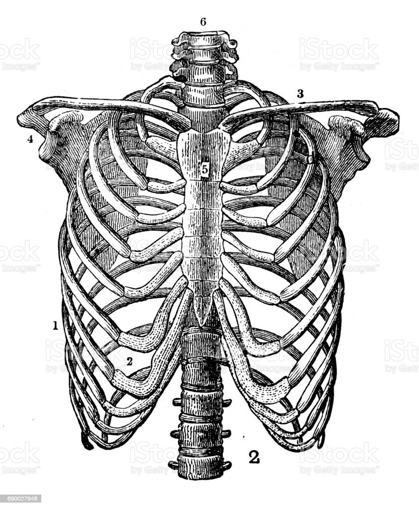 Antique engraving illustration: Rib cage vector art illustration