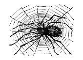 Antique engraving illustration: Spider
