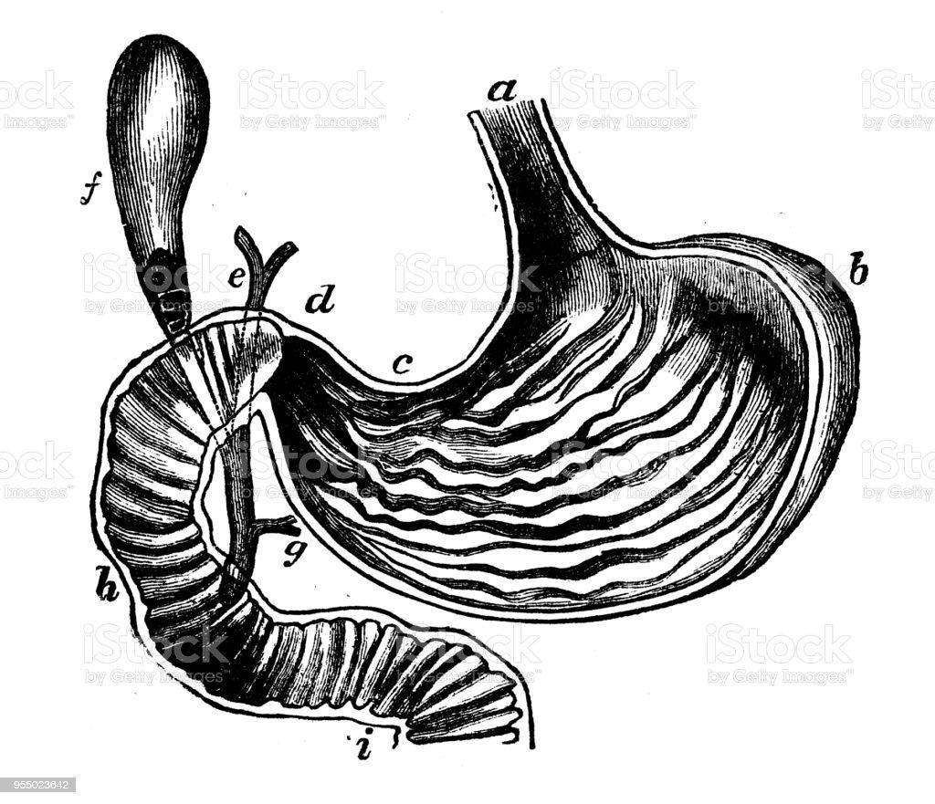Antiken Gravur Abbildung Magen Stock Vektor Art und mehr Bilder von ...