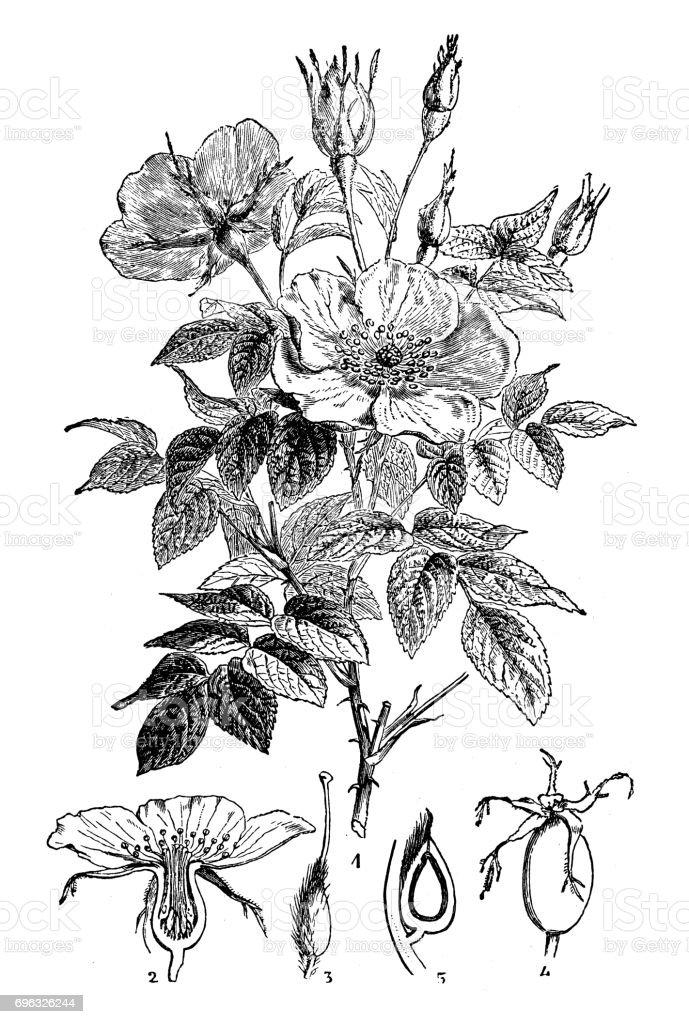 Antique engraving illustration: Wild rose or Dog rose vector art illustration