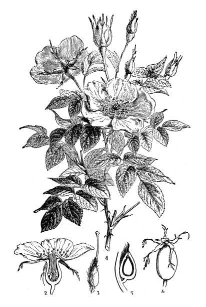 Antique engraving illustration: Wild rose or Dog rose Antique engraving illustration: Wild rose or Dog rose wild rose stock illustrations