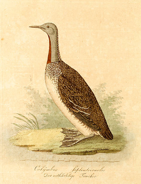 Antique engraving of a red throated loon Antique engraving of a red throated loon. High resolution photograph of an original antique hand painted intaglio print from ENDLER & SCHOLZ.Der Naturfreund oder Beiträge zur Schlesischen Naturgeschichte published in 1809. loon bird stock illustrations