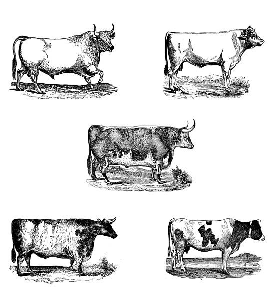 Antique engravings bull collection vector art illustration