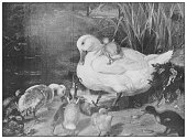 Antique famous painting from the 19th century: The ugly duckling by Henrietta Ward