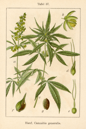 Antique Flower Illustration: Hemp (Cannabis sativa)