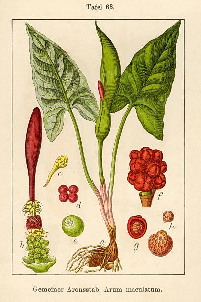 Ancienne Illustration de fleurs: Lords et femmes (Arum maculatum) - Illustration vectorielle