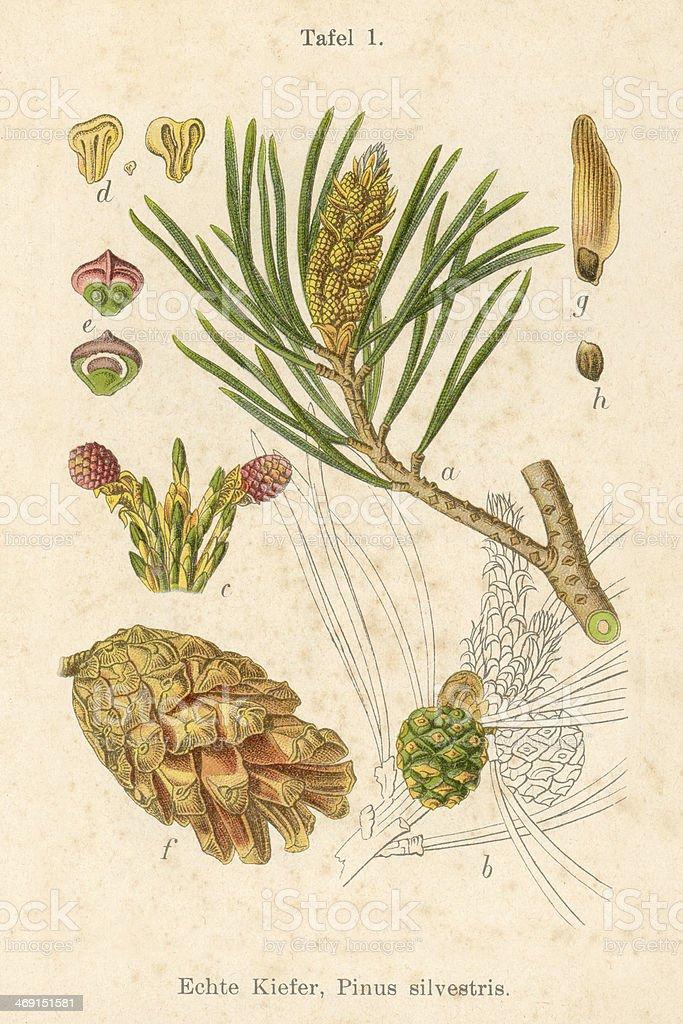 Ilustración de Antigua Flor Ilustración Pino Silvestre y más banco ...