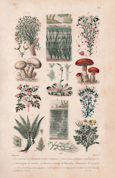 텍스처 페이퍼가 있는 앤티크 프렌치 식물 일러스트레이션 - 버섯 stock illustrations