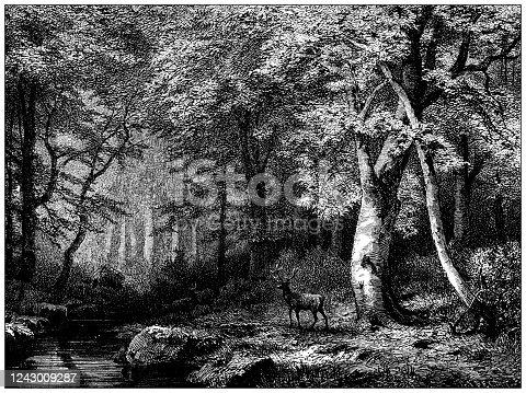 Antique illustration: Beech tree forest