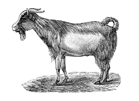Antique illustration: Bongo Goat