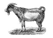 istock Antique illustration: Bongo Goat 1227377394