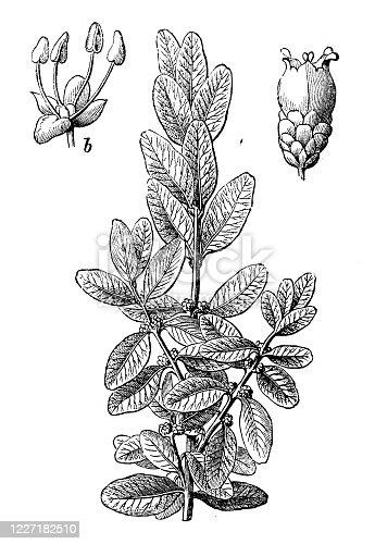 Antique illustration, botany: Buxus sempervirens, common box