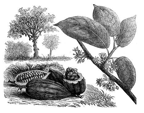 Antique illustration, botany: Cocoa