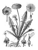 Antique illustration, botany: Dandelion