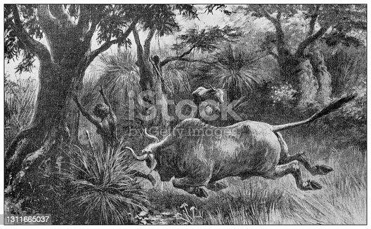 Antique illustration: Buffalo charging