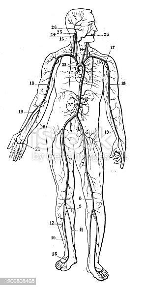 Antique illustration: Cardiovascular System