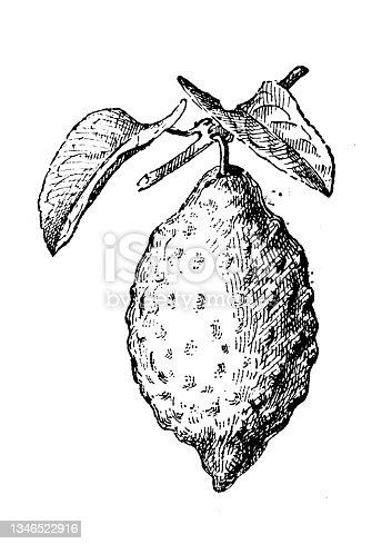 istock Antique illustration: citron (Citrus medica) 1346522916