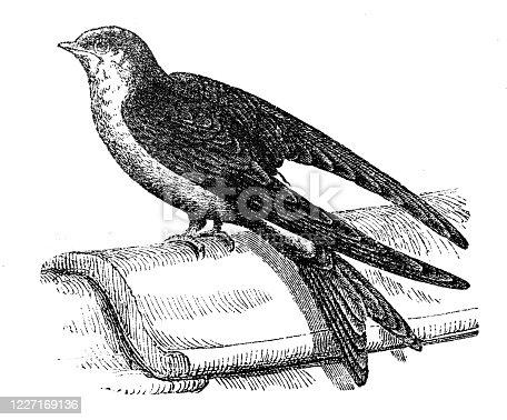 Antique illustration: common house martin (Delichon urbicum)