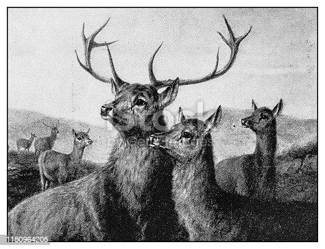 Antique illustration: Deer