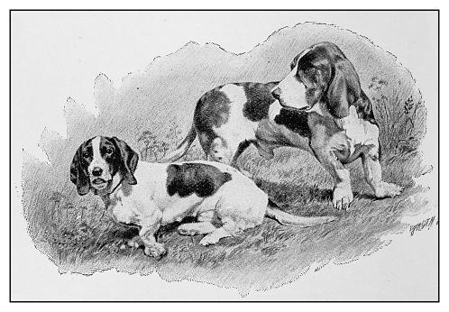 Antique illustration: Dogs