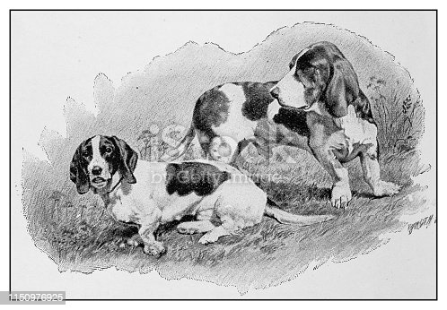 Antique illustration: Dogs